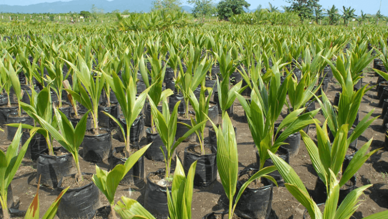 3 THINGS TO NOTICE WHILE PICKING A COCONUT SEEDLING FROM NURSERY