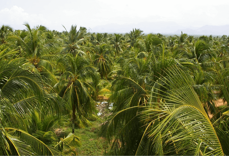 Lending a helping hand to coconut farmers
