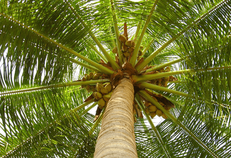 THE AMAZING COCONUT: HOW IT PROTECTS YOU ALL AROUND