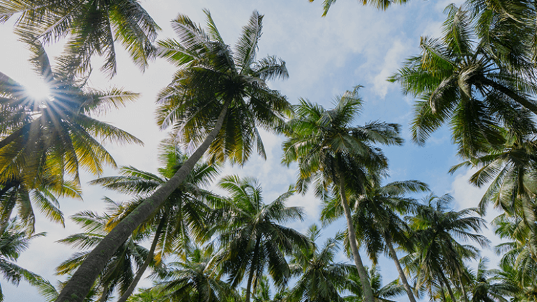7 IMPORTANT ENVIRONMENTAL FACTORS IN THE LIFE OF COCONUT TREES