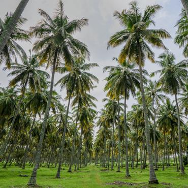 Marico aims to give coconut farming a boost through Parachute Kalpavriksha programme